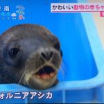 あさチャン とべ動物園でタヌキ&サル&アシカの赤ちゃん公開