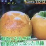 シューイチ 高級柿 シンデレラ太秋 1玉5000円の秘密とは?